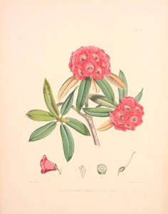 Sketch of a Himalayan Rhododendron by Joseph Dalton Hooker
