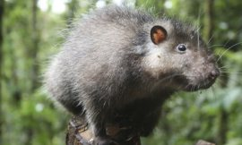 Bosavi Woolly Rat, photo credit: Jonny Keeling